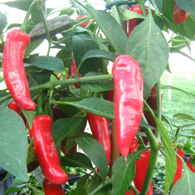 Chillilicious is Scotland's first and only chilli farm, run by Patricia and Stacey Galfskiy. Photo: Chillilicious